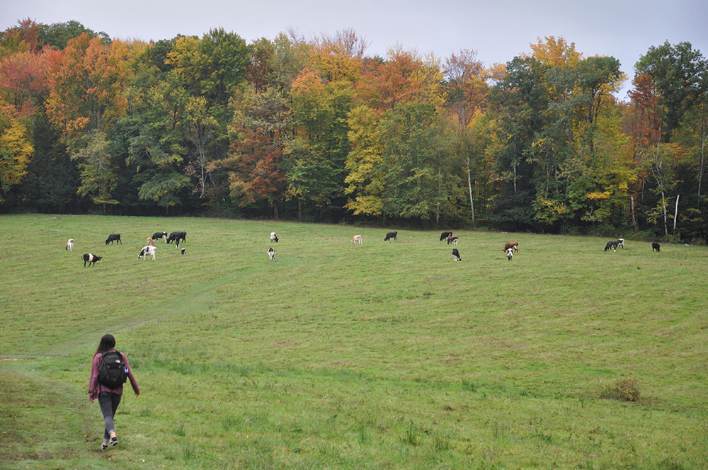 cows on Stone HIll